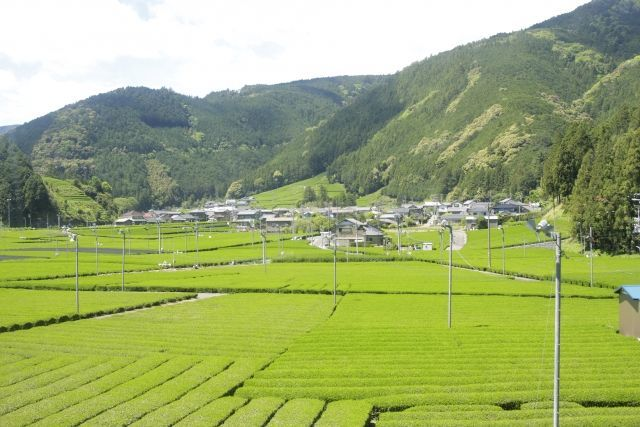 静岡県の茶畑
